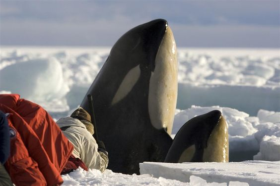 Filming killer whales up close on the Antarctic sea-ice. ©Chadden Hunter 'Frozen Planet' #FrozenPlanet #Orcas #BBC