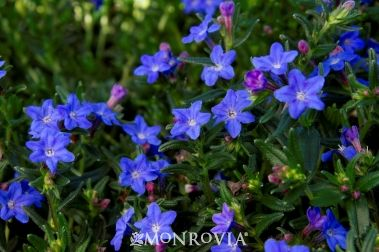 Grace Ward Lithodora - the photo is no exaggeration of the color.  They are exactly this blue in person.  They are hands down the most true blue flower I have ever seen.: