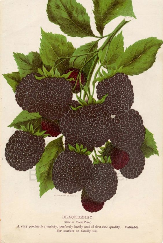 Chromolithograph of Blackberries: