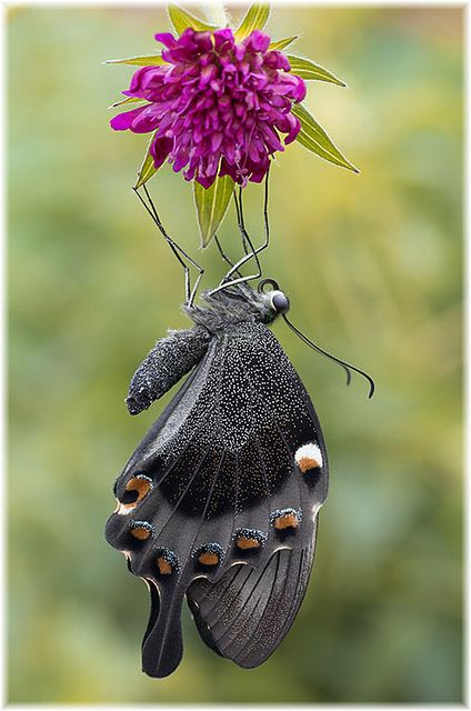 The Ruby-spotted Swallowtail or Red-spotted Swallowtail (Papilio anchisiades) is a butterfly of the Papilionidae family. It is found from southern Texas south to Argentina.