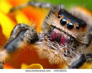 common black jumping spider - Yahoo Image Search Results