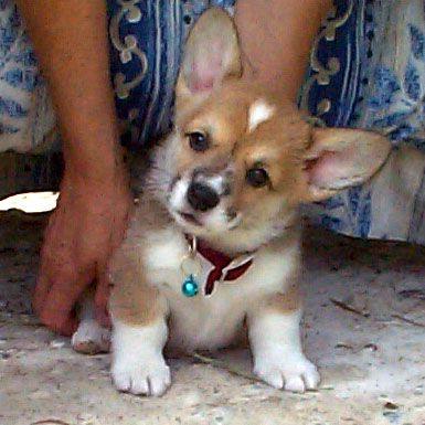 My cute corgi as a pup