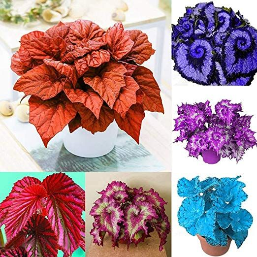 Amazon Com 50pcs Begonia Seeds Coleus Begonia Flower Seeds Bonsai Plants Balcony Home Garden Decor Blue Double Col Bonsai Flower Flower Seeds Purple Plants