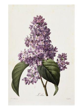 lilacs ~ by Pierre Joseph Redoute
