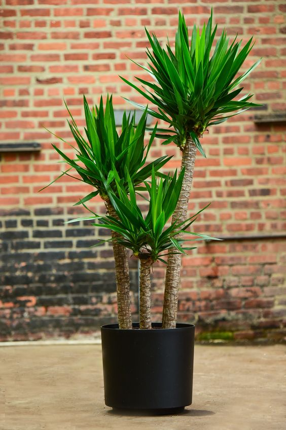 "Yucca Cane Yucca guatamalensis The yucca plant's tall, slender profile make it an easy choice for those with limited space. A gorgeous, masculine profile, perfect for office or home. Besides the light requirement (at least 2-3 hours of direct sun), this plant is extremely hearty and a wonderful choice for beginners. Features: 14""-16""W x 5'-6'H   Guaranteed fresh by Interior Foliage"