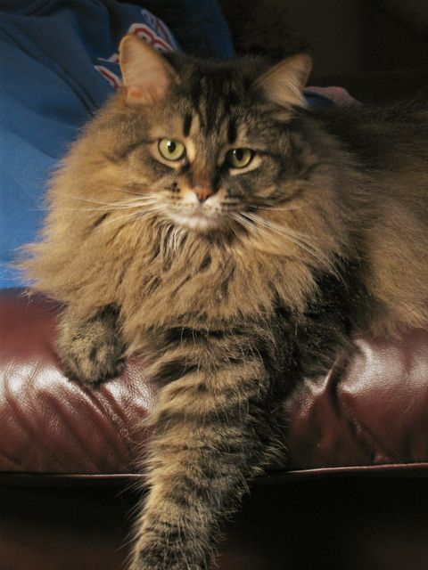 Pictures Of Domestic Long Hair Cat Breed Cat Breeds Long Haired Cats Long Hair Cat Breeds