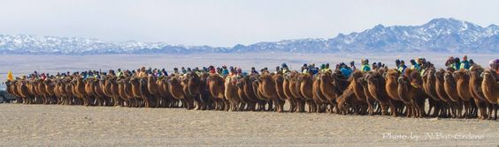#Mongolia-n riders break the Guinness World Record (@GWR) for largest camel race bit.ly/1RctSGM