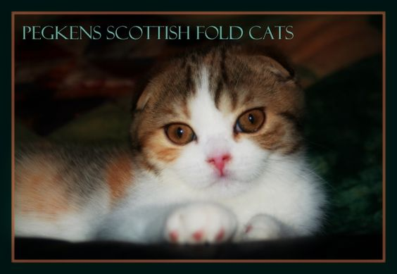 Pegkens Scottish Folds