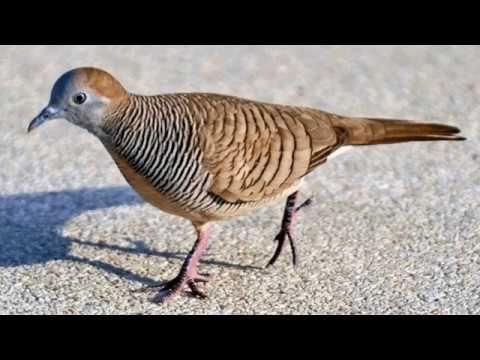 Suara Burung Perkutut Gacor Youtube Burung Betina Binatang
