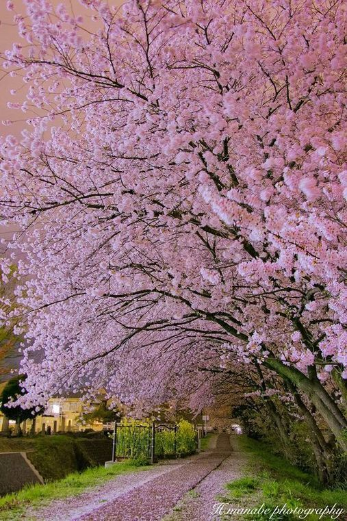 If You Re In The Fragrance Mist Lineup You May Want To Buy Up Everything You Can Now During The St Cherry Blossom Japan Beautiful Landscapes Beautiful Nature