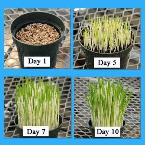 Bring Your Lawn Back To Life By Learning How To Overseed A Lawn Overseeding Is A Practice That Helps Maintain Your Lawn Overseeding Lawn Overseeding Lawn Care