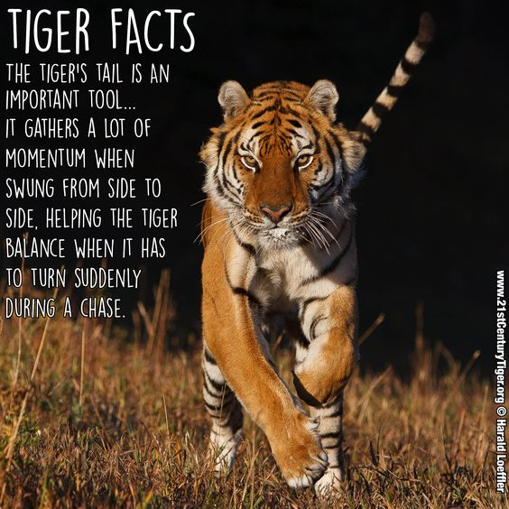 Tiger Facts Did You Know A Tigers Tail Is Really Important To Its