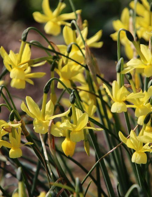 Blumenzwiebeln Zum Verwildern Stilvolles Design Einfach Gepflanzt Blumenzwiebeln Pflanzen Blumen