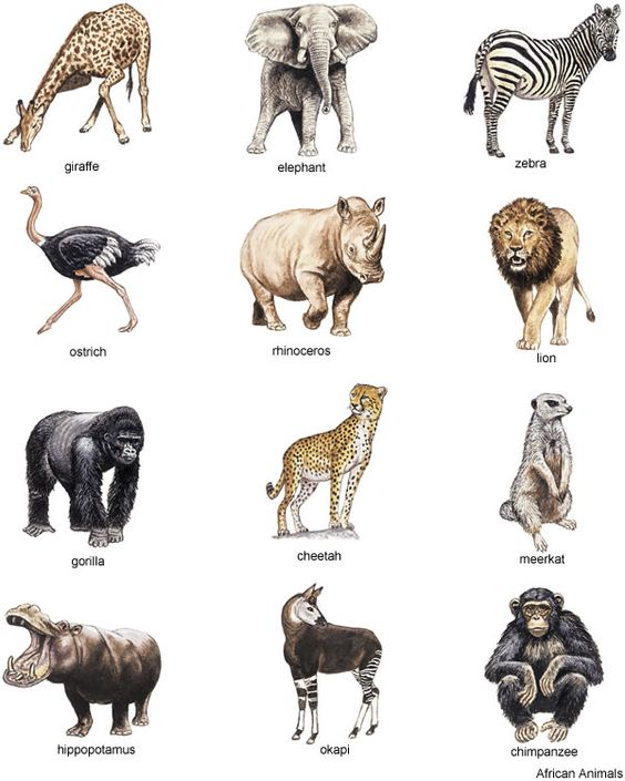 Line Drawings Of African Animals : From full color animal illustrations cd rom and book