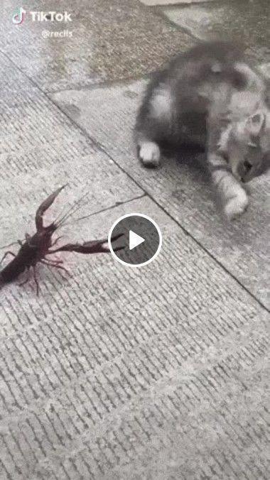 Briga entre lagosta e gato.