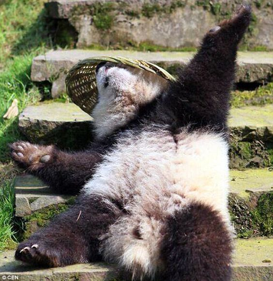 Blissed out: The bears relaxed and stretched out happily in the sun with their newfound toys at the sanctuary