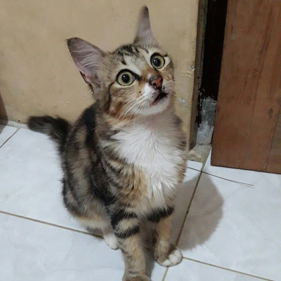 Pin by Warung Kessa on Anak kucing   Pinterest