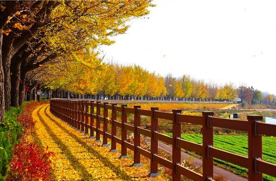 Con đường Hyeonchongsa vàng màu lá khi thu về