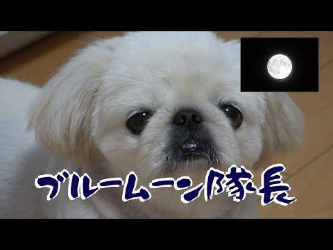 ペキニーズとブルームーンを鑑賞してみた We Watched The Blue Moon With Our Pekingese Youtube ブルームーン ペキニーズ ブルー
