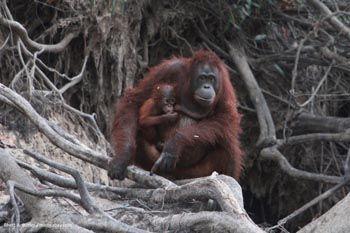 Borneo es famoso por sus orangutanes, aunque muchas otras especies viven allí tambien