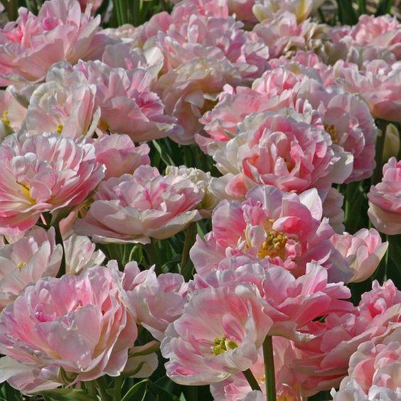Tulpe 'Angelique' - Seit 50 Jahren verlieben sich immer mehr Gartenbesitzer in diese wunderschöne rosa Tulpe. So zart, wie sie aussieht, so robust wächst sie. Pflanzzeit für die Blumenzwiebeln ist im Herbst - online bestellbar bei www.fluwel.de