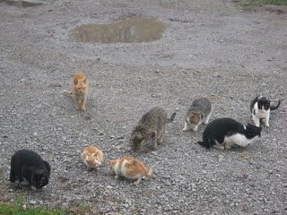 Feral cats tend to be a problem. Mine are multiplying like crazy. Learn what you can do about them in this article.