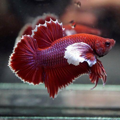 Live Betta Fish Super Purple Dumbo Big Ears Halfmoon Plakat Hmpk Male 92 Ebay Betta Betta Fish Live Fish For Sale