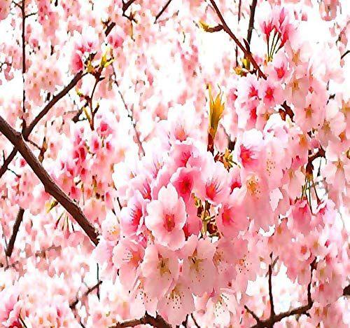 Big Pack 100 Japanese Sakura Flowering Cherry Prunus Serrulata Tree Seed Japanese Cherry Blossom Tree Seeds Tree Seeds Japanese Cherry Blossom Prunus
