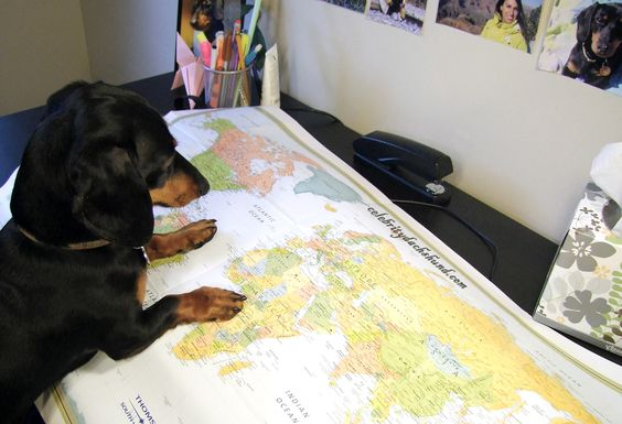 dachshund-looking-at-map. Deciding what country to take over first