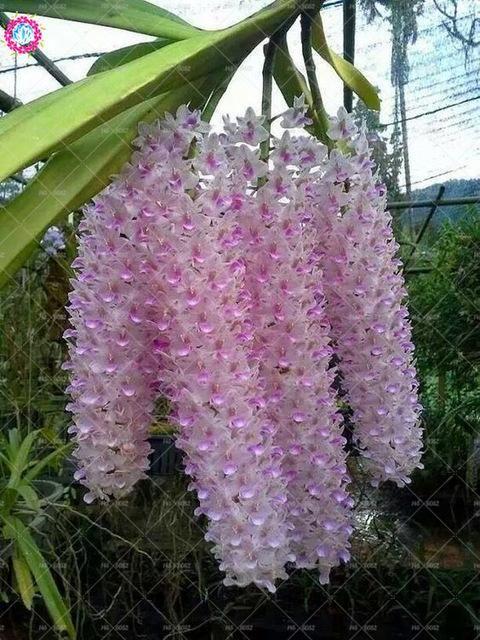 100pcs Rare Cymbidium Orchid Seeds African Cymbidiums Seeds Phalaenopsis Bonsai Flower Seeds For Home Garden Potted Orchis Orchideeen Exotische Bloemen Planten