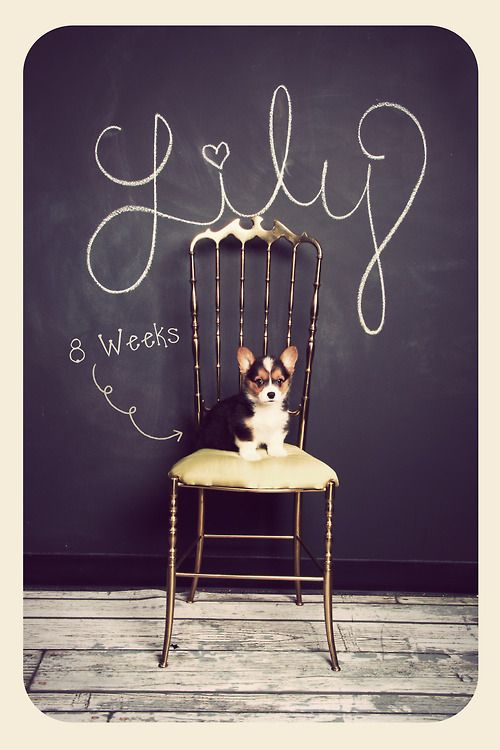 """Miss Lily Evan Potter at 8 weeks :)"" { this is a neat photography idea for kids or pets. place them in front of a chalkboard wall with name, age, height, etc. she is a cute little corgi! }:"