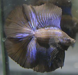 Live betta fish huge fins rare super black metallic for Big betta fish