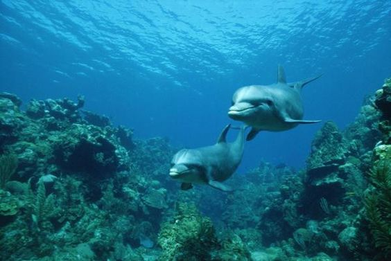 Bottlenose Dolphin Pair Swimming Over Coral Reef, Honduras by Konrad Wothe