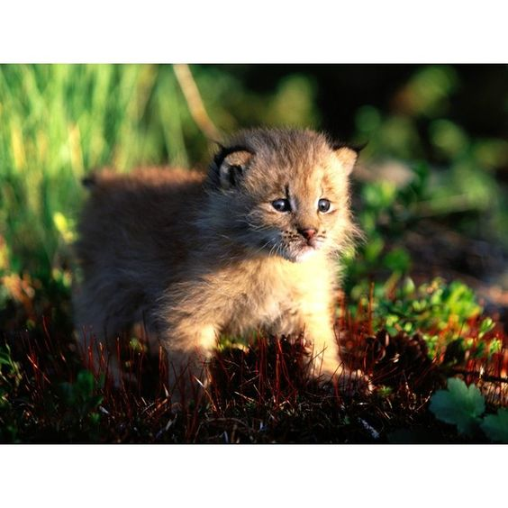 Canada Lynx Kitten ❤ liked on Polyvore