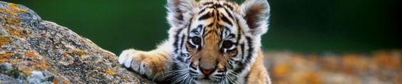Hermoso tiger