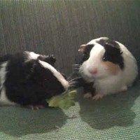 Guinea Pig Sibling Rivalry