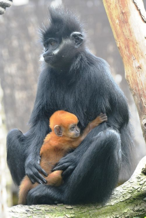 Baby langur monkeys are orange for the first 4-6 months