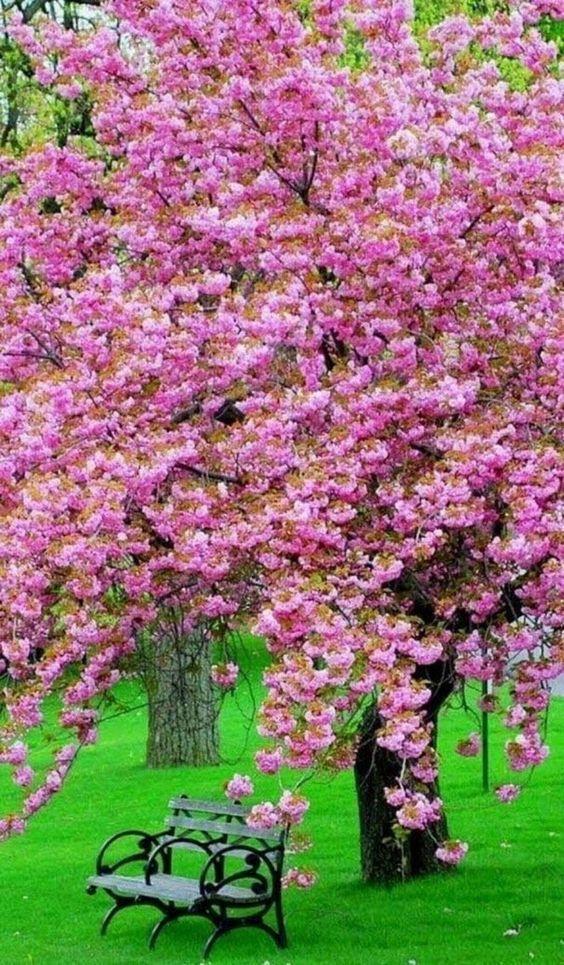 Pink Magnolia Tree Caerhays Surprise Beautiful Gardens Spring Scenery Beautiful Landscapes