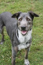 Winnie is an adoptable Irish Wolfhound Dog in Bay Shore, NY. Winnie is a very sweet female mixed breed. She loves people and is a very friendly and outgoing girl. She is a smart girl that is playful a...