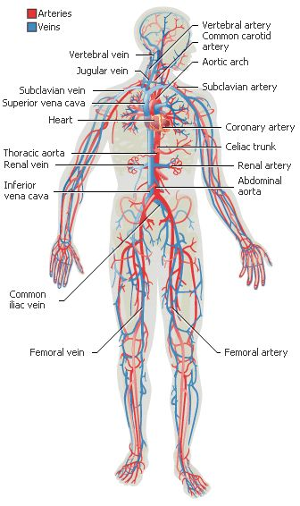 the circulatory system journey of a Shmoop biology explains animal circulation  the open circulatory system is  because they provide the forceful push that sends the blood on its long journey.