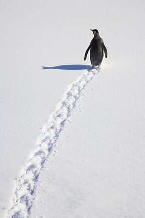 King Penguin walking through snow, Antarctic Bay, South Georgia Island