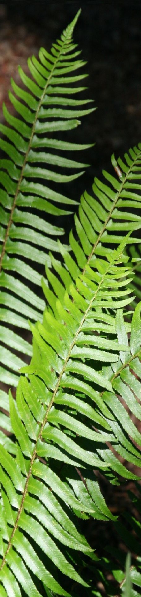 oregon green ferns - photo #9
