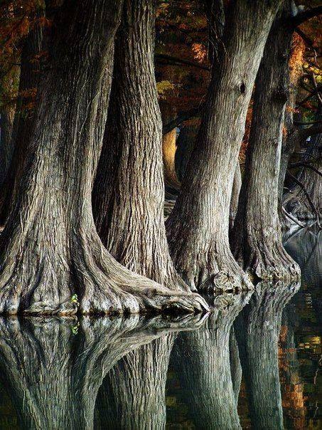 Cipreses en el río frio, Texas parecen pies de elefante...