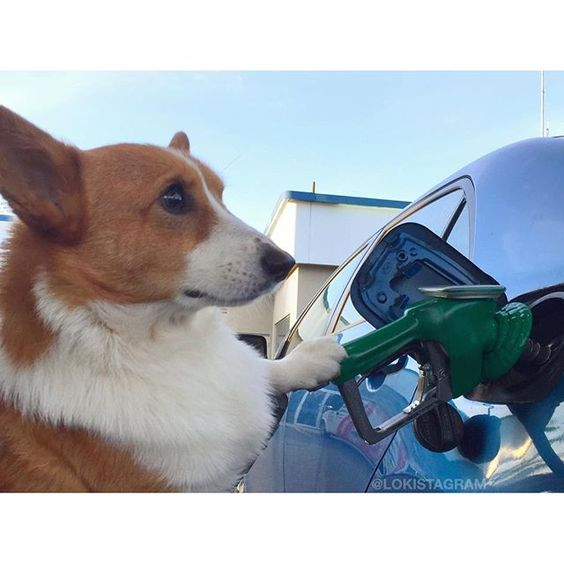Wow Gas So Expensive Corgi Herding Dogs Cute Animals