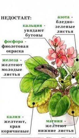узамбарская фиалка или сенполия - Страница 2 5a1dee931d79cb6864fd2b2f32358495
