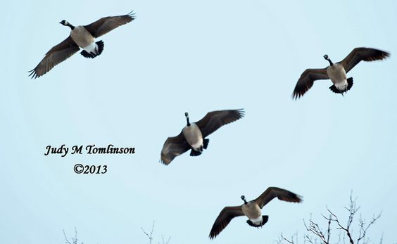 Canada Geese by judy m tomlinson photography