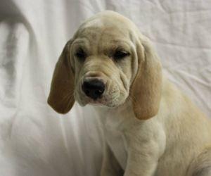 Garth is an adoptable Shepherd Dog in Woodlyn, PA.  ...