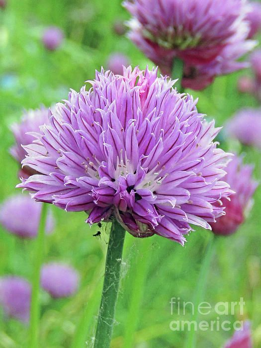 Garden Chive Flower By Kim Tran Chive Flower Flowers Kim Tran