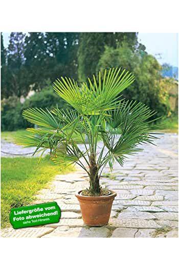 Amazon De Palme Winterhart In 2020 Winterharte Pflanzen Garten Palmen Garten Balkon Pflanzen