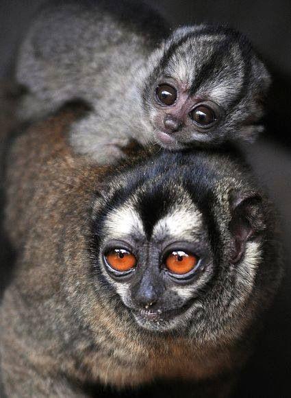 Night Owl Monkeys